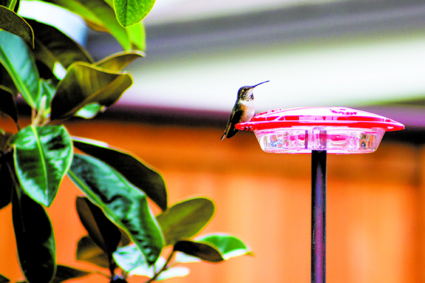 hummingbird in the backyard