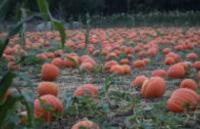 Pumpkin Patch at Bates Nut Farm