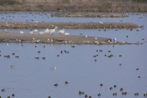 Salton Sea Ducks